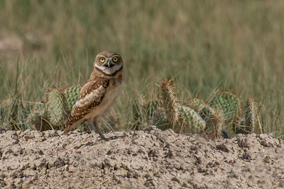 Burrowing Owl Northern CO