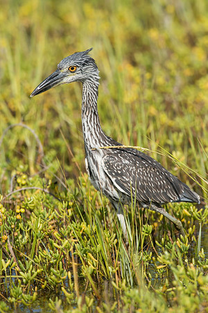 Yellow-crowned Night-heron Juvenile Galveston, TX