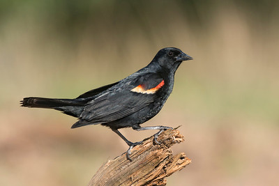 Red-winged Blackbird Refugio TX