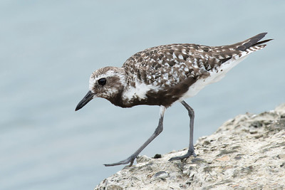 Black-bellied Plover Galveston, TX