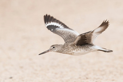 Willet Freeport, TX