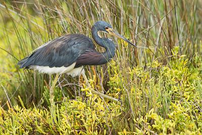 Tri-colored Heron Galveston State Park, TX