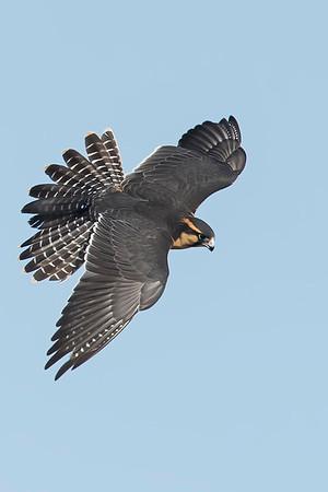 Aplomado Falcon Northern CO Rob Palmer Falconer